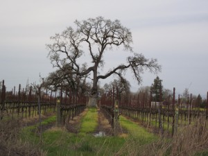 Valley Oak and Balletto Vineyard